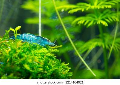 Dark blue cherry dwarf shrimp stay on aquatic plants ball in fresh water aquarium tank