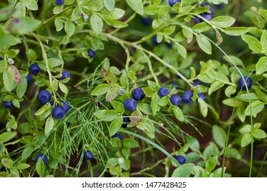 Dark blue fruits of common bilberry (vaccinium myrtillus) on s branch. Season: Summer 2019. Location: Western Siberian taiga.