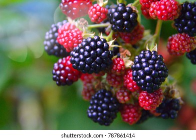 dark blue and red blackberry