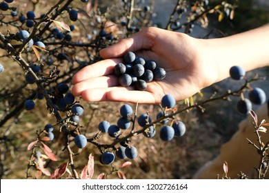 Dark blue ripe sloe fruit in one human hand and on branches of blackthorn or Prunus spinosa. Background with bright yellow orange leaves in an autumn sunshine day.