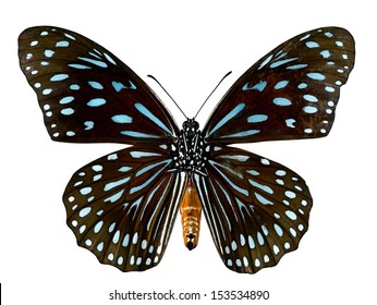 Dark Blue Tiger Butterfly (Tirumala septentrionis) breast profile in natural color isolated on white background