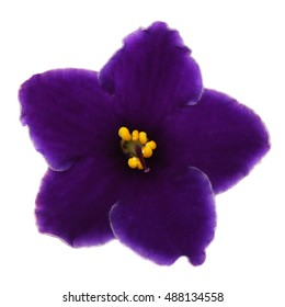 The dark blue violet isolated on a white background.