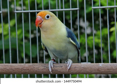 a dark blue yellow faced lovebird
