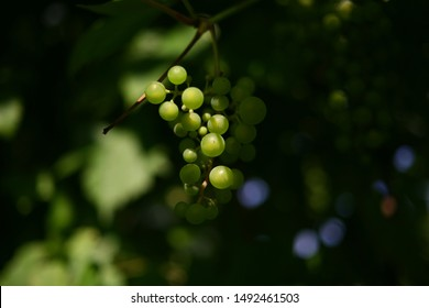 Dark blurred natural background and light falling on the grapes. Berries of yellow ripe grapes in the shade of a grape tree. Raw food from an organic farm