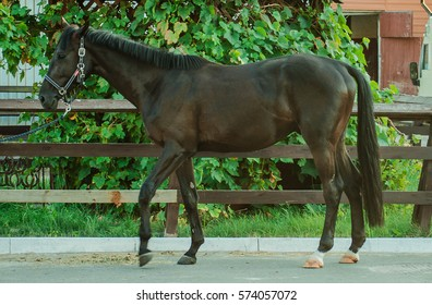 Dark brawn horse  on his head stands dressed in a halter on a background of green trees