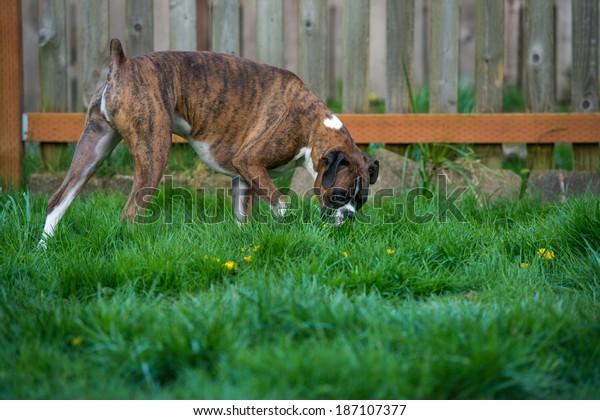 Dark Brindle Boxer Dog Walking on Lush Green Grass in Park Sniffing Around