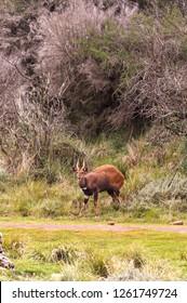 Dark brown bushbuck antelope on the edge of the forest. Aberdare, Kenya
