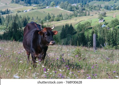 A dark brown cow is grazing grass in a small detrached village Carpathian mountains resort. It will give an organic milk for local people and travellers.