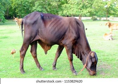 Dark Brown Cows in Asian farm, image 1