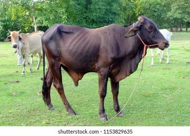 Dark Brown Cows in Asian farm, image 2