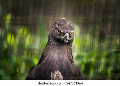 Dark brown hawk among leaves.