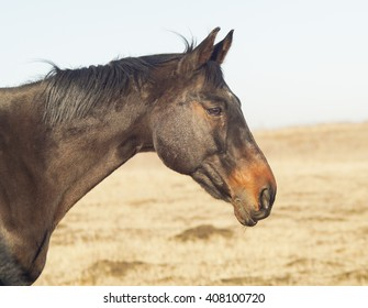 dark brown horse walking in a field on a yellow dry grass