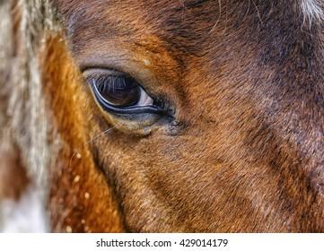 Dark Brown horse's eye