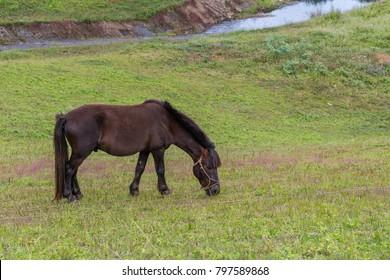 A dark brown pony grazes the grass in the farm