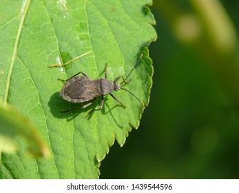 Dark brown shield bug on leaf. Japanese stink bug. Squash bug. Leaf-footed bug smells bad.