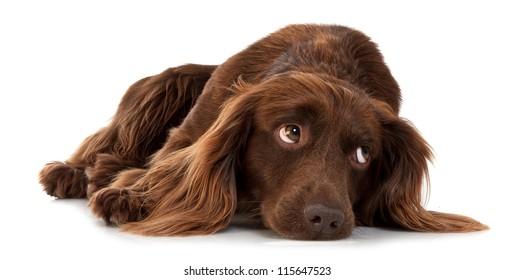 Dark brown spaniel lying on a white background