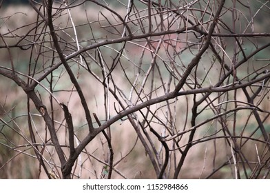 Dark Brown Twigs
