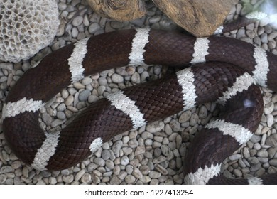 Dark brown and white snake with a beautiful leather is being keep inside the glass box