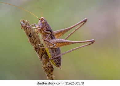 dark bush-cricket (Pholidoptera griseoaptera) is a flightless species of bush-cricket