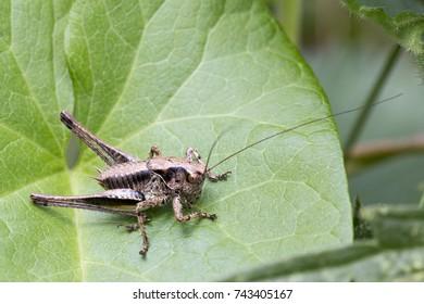 Dark Bush-cricket (Pholidoptera griseoaptera), male, at WWT Welney Centre, Norfolk, England, UK.