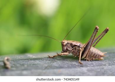 Dark Bush-cricket (Pholidoptera griseoaptera), Welney WWT Reserve, Norfolk, England, UK.