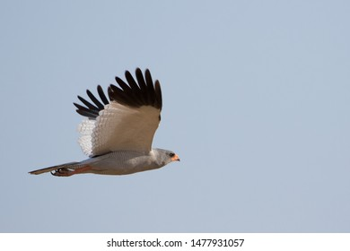 a dark chanting goshawk in flight, isolated