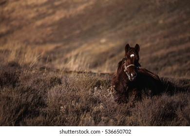 Dark chestnut horse sits on a hillside grass