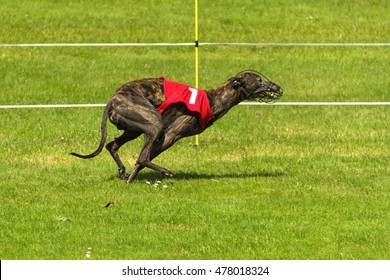 Dark colored Greyhound racing wearing number one