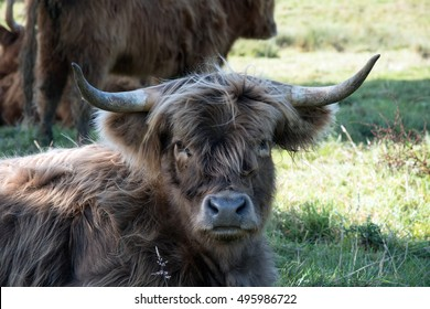 Dark colored Highland cow looking at the camera.