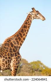A dark colored male giraffe in bushveld
