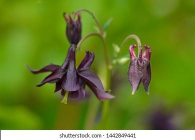 Dark columbine (Aquilegia atrata) in a meadow in the forest
