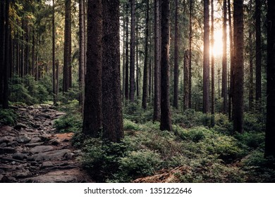 Dark coniferous forest in the early Morning sunshine