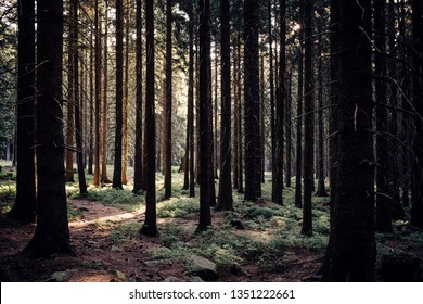 Dark coniferous forest in the early Morning