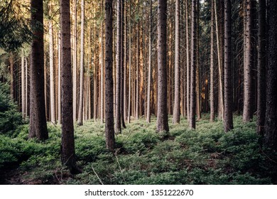 Dark coniferous forest in the early Morning covered the forest floor