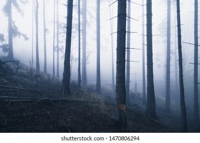 Dark coniferous forest with a light fog