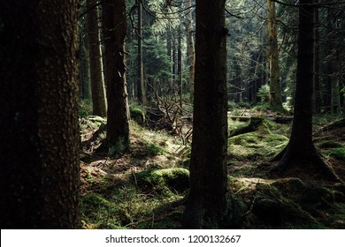 Dark coniferous forest in the national Park