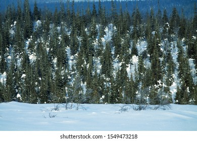 Dark coniferous forests (boreal coniferous forest). Dense marshy forest in Siberia. Siberian taiga in winter. Top view on snow-covered spruce forest, old spruce forest, Siberian spruce (Picea obovata)