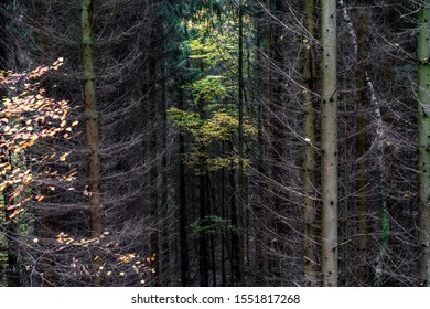 Dark coniferous trees with single beech with yellow foliage, Harz National Park, Germany
