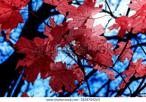dark-crimson-maple-leaves-autumn-600w-18