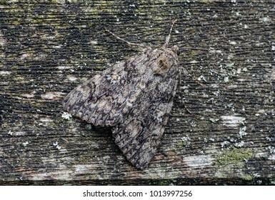Dark Crimson Underwing moth ( Catocala sponsa ) in the family Erebidae. Sitting on a fence.
