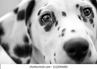 Dark Dalmatian eys