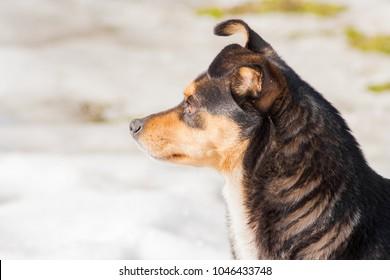 dark dog standing in winter. Snow in the background