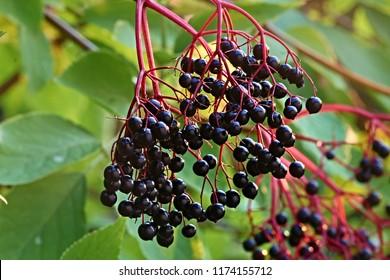 dark elderberries in autumn