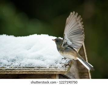 dark eyed junco at snow covered  bird feeder.  Stop action image with wings outstretched. background intentionally out of focus in soft neutral colors.