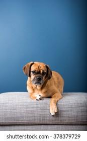 Dark Fawn Puggle Dog Laying on Gray Sofa