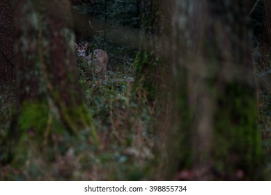 In the dark forest, a young roe buck watches me from the cover of the trees. The roe deer venture out from their hiding spots under cover of darkness.