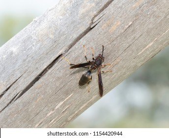 Dark Form of Northern Paper Wasp (Polistes fuscatus) on A Dead Tree in Colorado