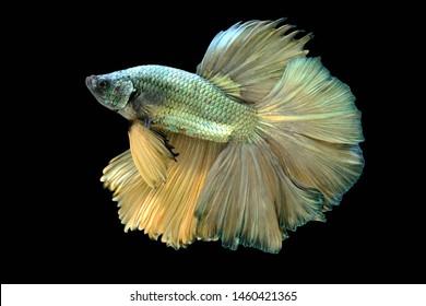 Dark glod betta fish,Siamese fighting fish,siamese fighting fish betta splendens (Halfmoon betta,Betta splendens Pla-kad ( biting fish) isolated on black background