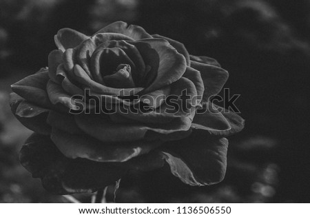 Dark Grainy Black White Rose Flower Stock Photo Edit Now