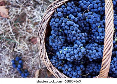 Dark grapes in a basket. Grape harvesting.  Red wine grapes. dark  blue grapes, wine grapes in a basket.